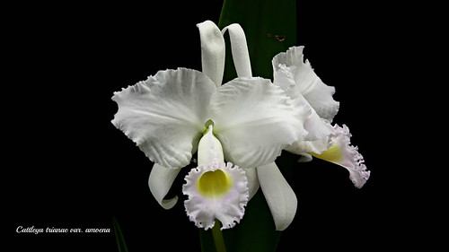 Cattleya trianae var. amoena   by emmily1955