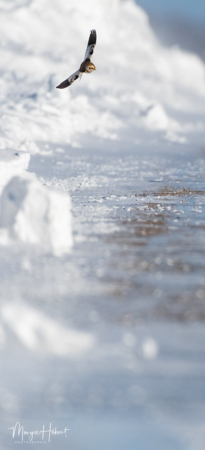 Plectrophane des neige