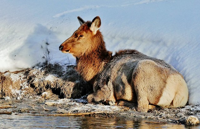 Female Elk Along The Madison River