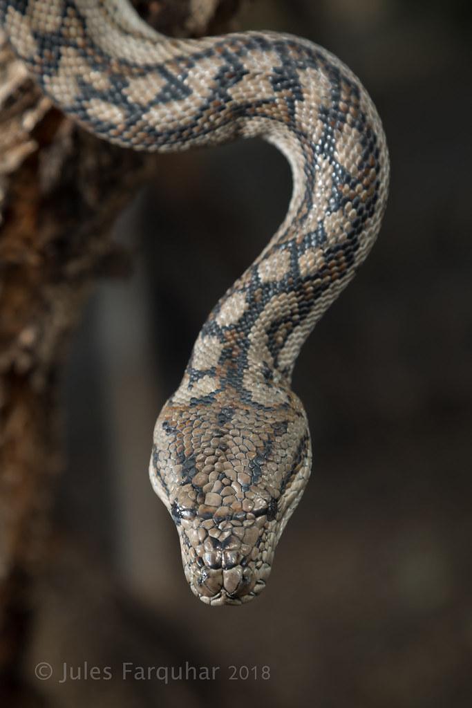 Murray Darling Carpet Python Morelia Spilota Metcalfei By Jules Farquhar