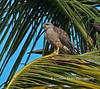 Ridgway's Hawk, female, Parque Nacional los Haitises, Dominican Republic, rare Endemic, by Graham Ekins
