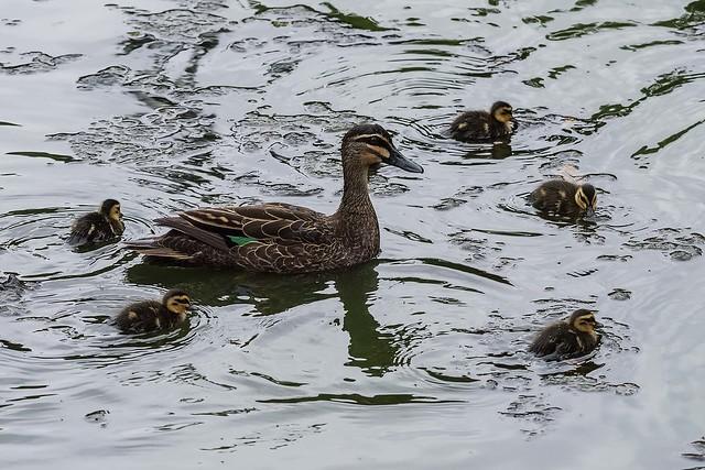 Pacific Black Duck Family