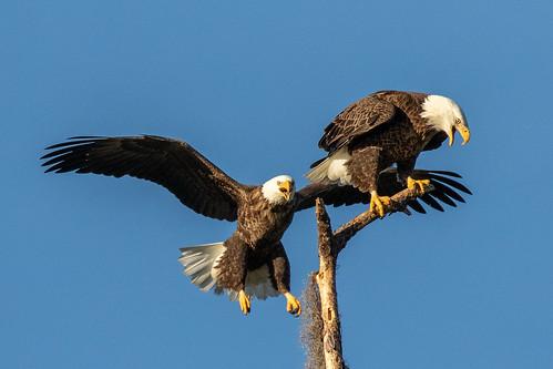 outdoor eagle sky water nature wildlife 7dm2 ocean canon florida bird bif flight