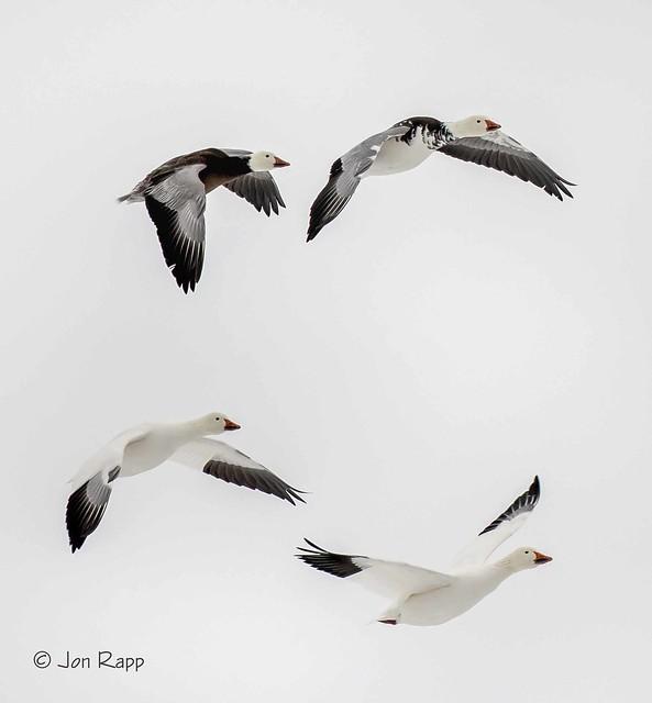 Goose, Snow 1d (BVL) (edit)