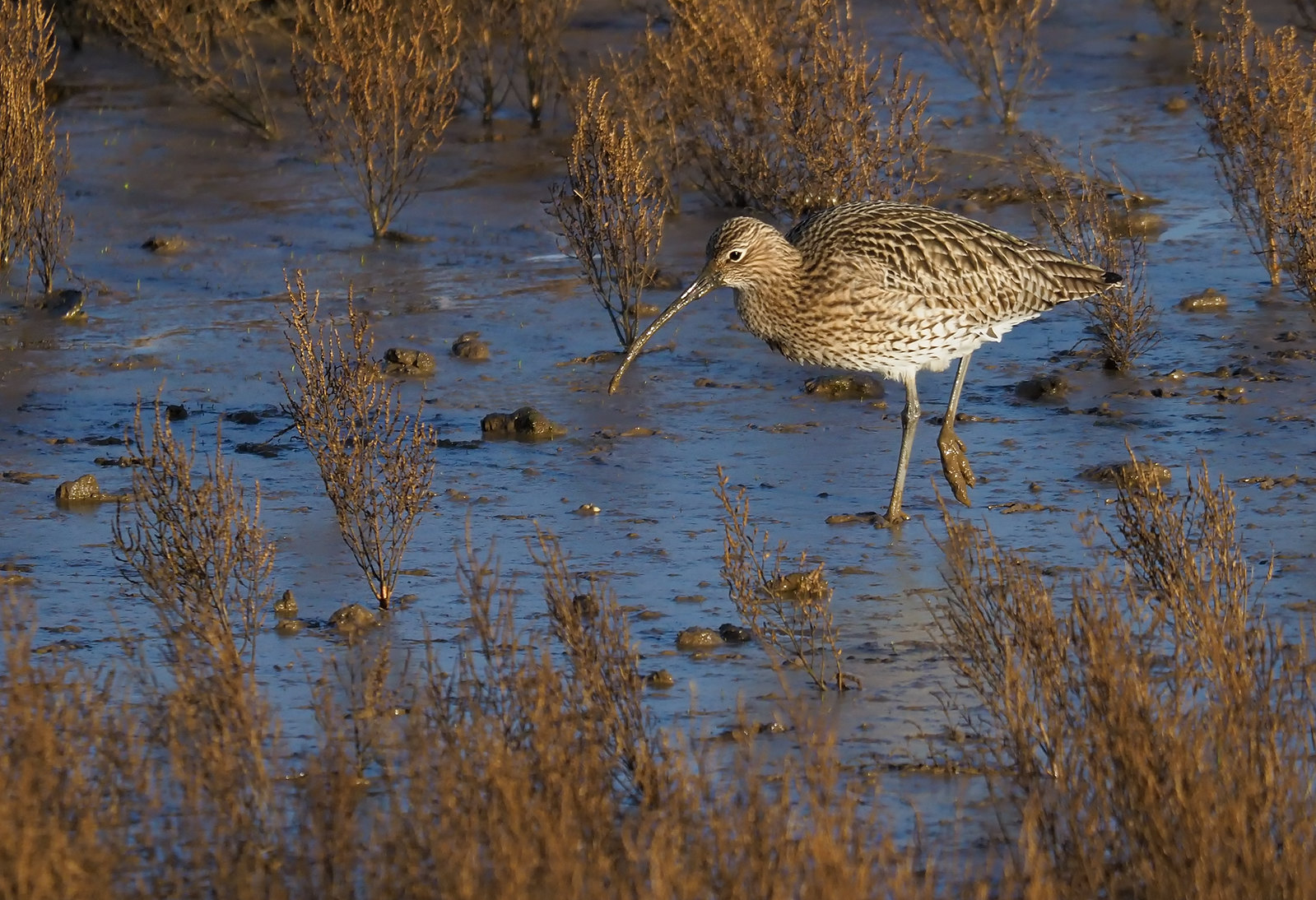 Curlew in mud