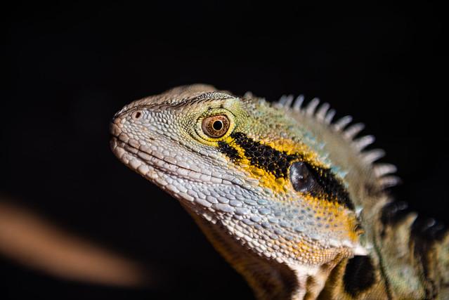 Brisbane - Iguana-14