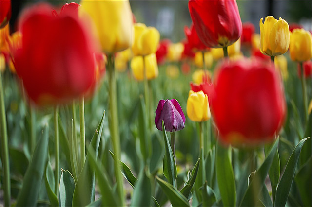 tulips_purple_in_yellow-and-red_01_8773080365_o