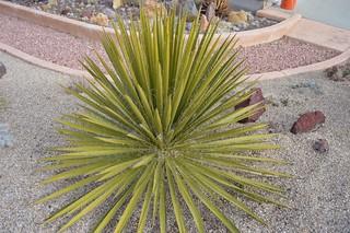 Yucca torreyi 1.22.1 | by geodesert
