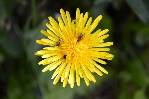 Dandelion (Taraxacum sp)