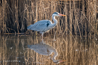 Grey Heron stalking 501_7323.jpg | by Mobile Lynn