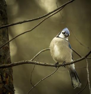 Blue Jay......