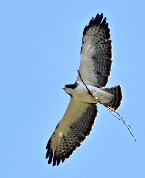 Buteo brachyurus (Águila o Gavilán rabicorto - Short-tailed Hawk)