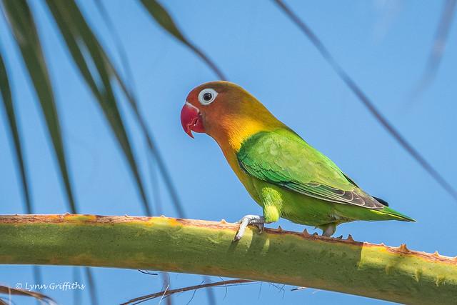 Lovebird 501_6881.jpg