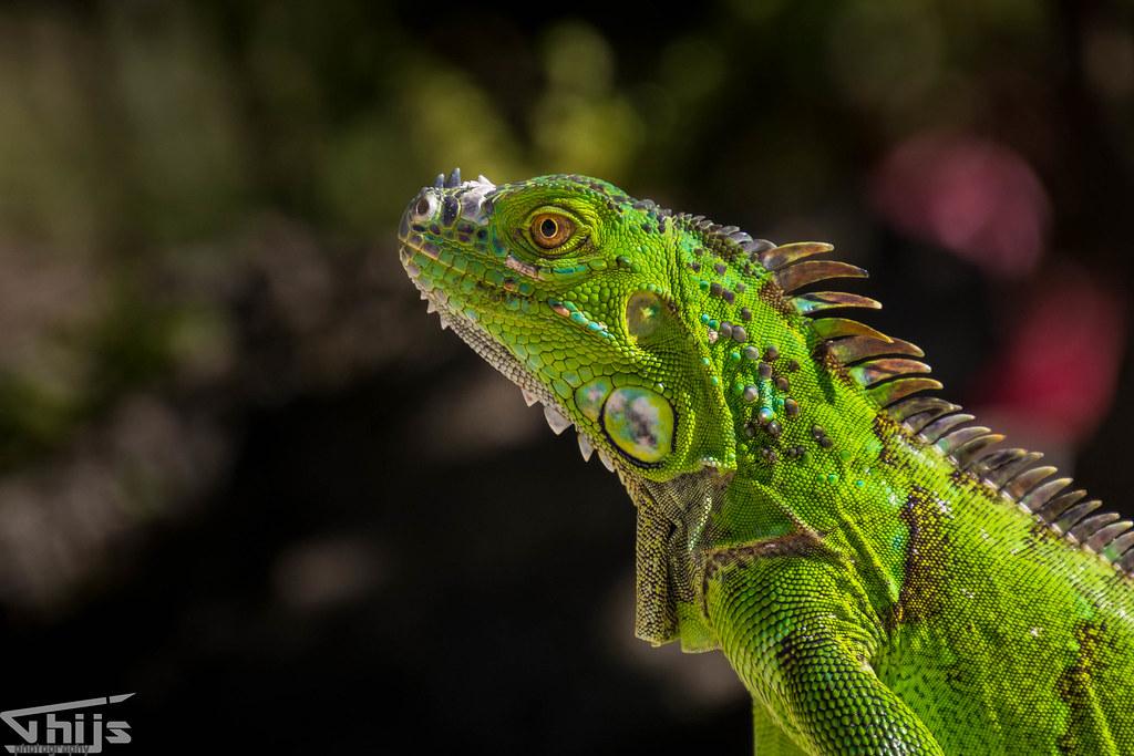 Green iguana @ Costa Rica