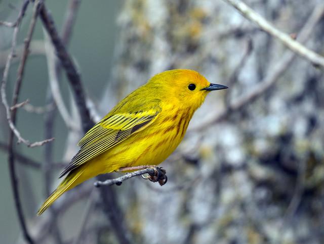 5891_Yellow Warbler