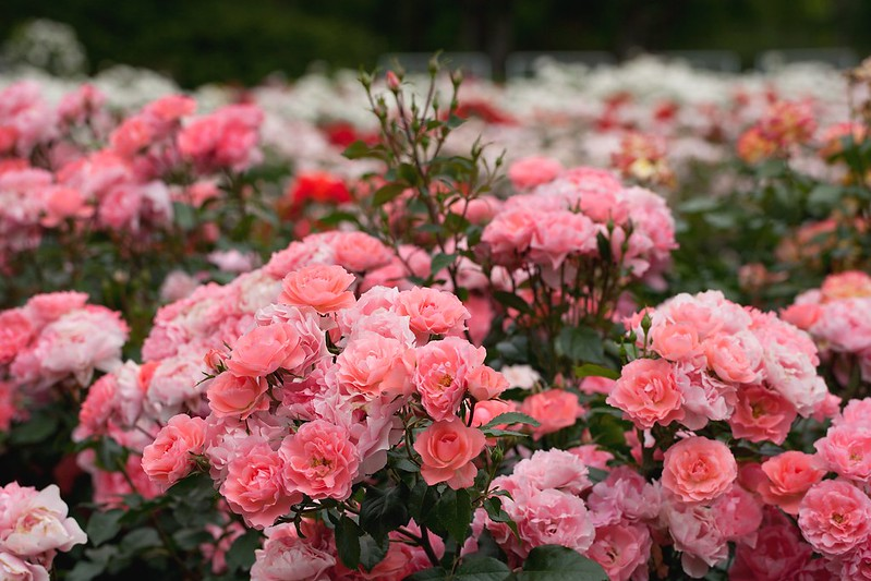 Обои розовый, розы, кусты, розарий картинки на рабочий стол, раздел цветы - скачать