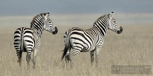 Cebras (Plains Zebra) - Ngorongoro CA - Tanzania