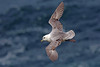 Northern Fulmar, Handa Island, Highland, Scotland by Terathopius