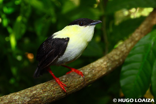 Manacus manacus - White-bearded Manakin | by hugo.loaiza