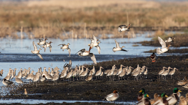 Black-tailed godwits (Greylake) #6
