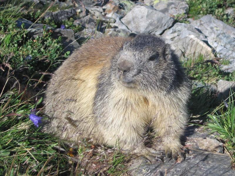 Real Live Marmot copy. Chamonix valley, France