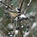 Chickadee in a tree by angelbrd59@yahoo.com