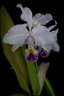 061218_Cattleya trianae (alba x coerulea) Currlin (10) (1 von 1) | by sabine_furtwaengler