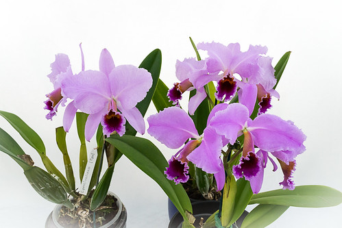 161218 Cattleya percivaliana Gruppe  (52) (1 von 1) | by sabine_furtwaengler
