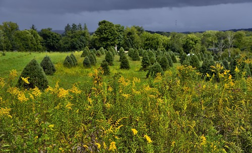 azimuth97 bloominggoldenrod capturenx2edited christmastreefarm cloudy colorefexpro cuyahogavalleynationalpark day6 fieldofwildflowers fieldofyellowwildflowers goldenrod grassyarea grassyfield grassymeadow hillsideoftrees landscape lookingeast lowerpeninsulaheartland midwestgreatlakesarea mostlycloudy nature nikond800e northamericaplains ohiowabasheriearea outside overcast portfolio project365 rollinghillsides travel treefarmtrail trees triptogatewaymammothcuyahoganationalparks wildflowers yellowwildflowers ohio unitedstates