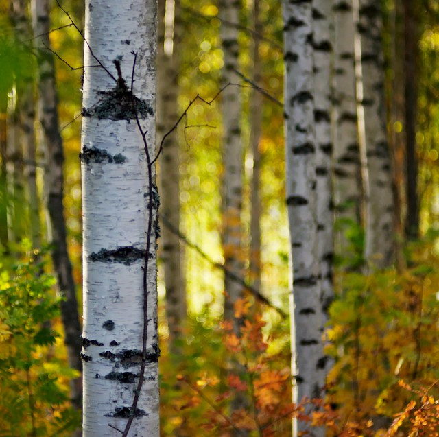 Birches and bokeh