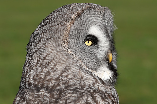 Great Grey Owl - Strix nebulosa | by Roger Wasley