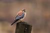 American Kestrel (Falco sparverius) Adult Male by Brown Acres Mark