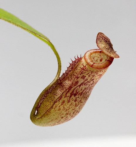 Nepenthes alisaputrana BE sg