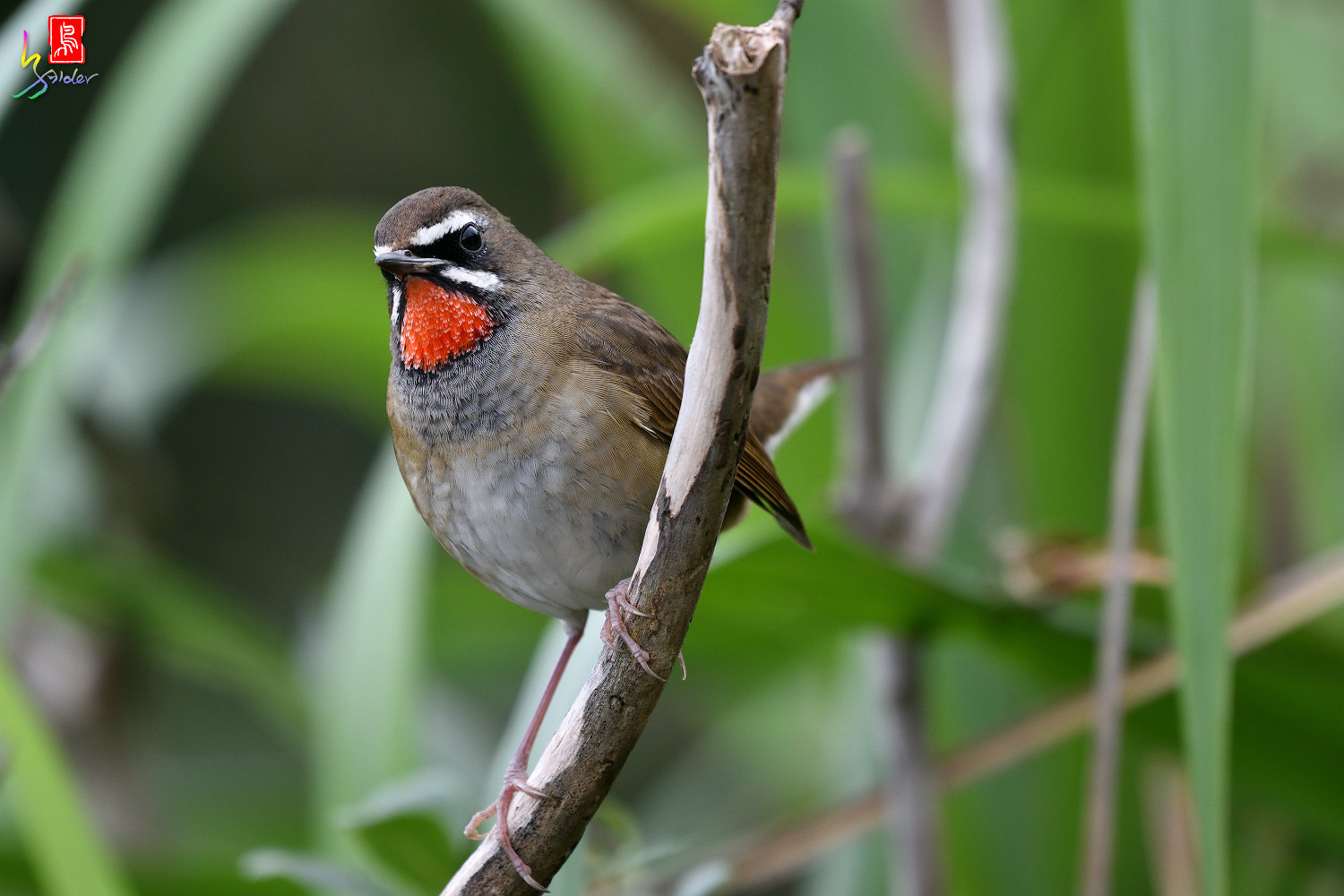 Rubythroat_8418