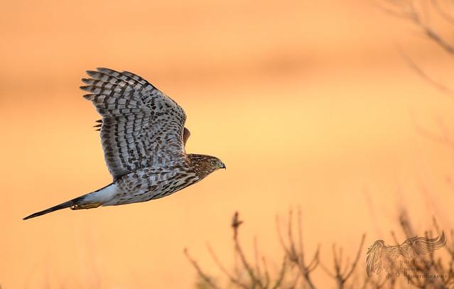 Sharp Shinned Hawk 12_4