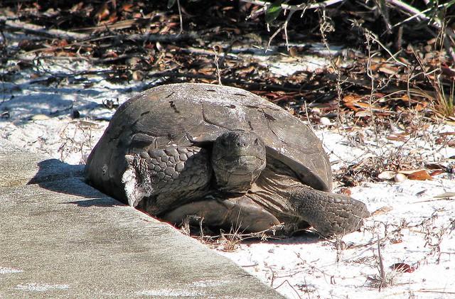 Gopherus polyphemus --  Gopher Tortoise 4062