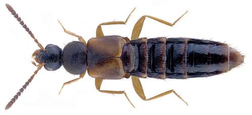Atheta (Atheta) castanoptera (Mannerheim, 1830)  Male | by urjsa