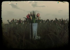 flowers tulips - Nates
