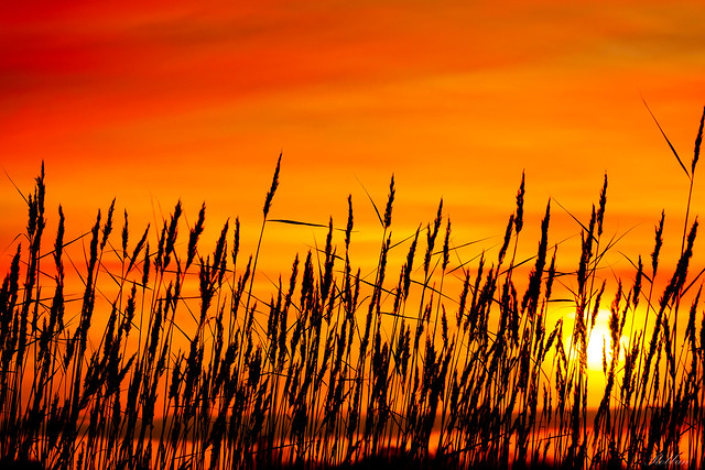 Sunrise behind the reeds!