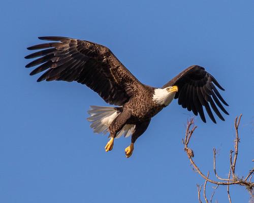 outdoor seaside shore sea sky water nature wildlife 7dm2 ocean canon florida bird raptor eagles