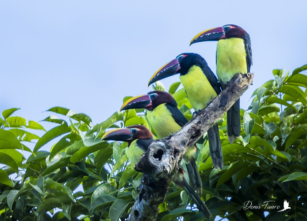 Araçari vert - Pteroglossus viridis - Green Aracari