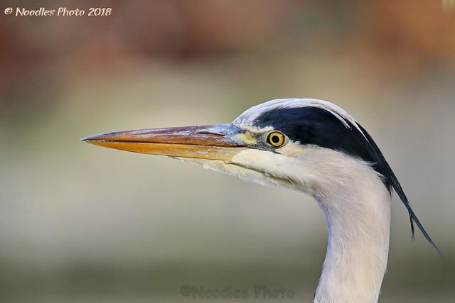 Graureiher - Grey heron