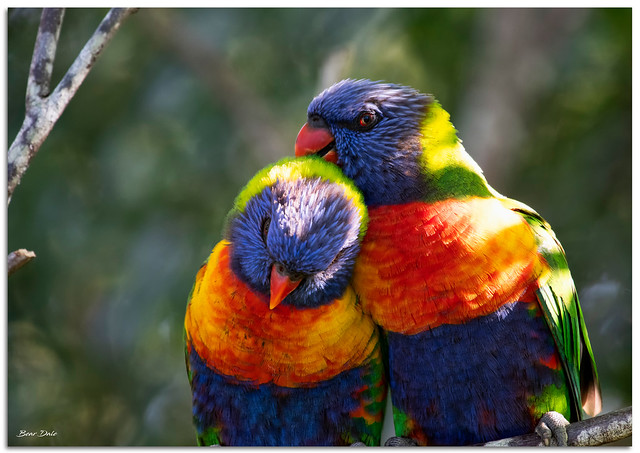 Rainbow Lorikeet Preening its partner