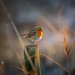 European Robin (Explored 2018-11-27 #1) by christianviktorsson