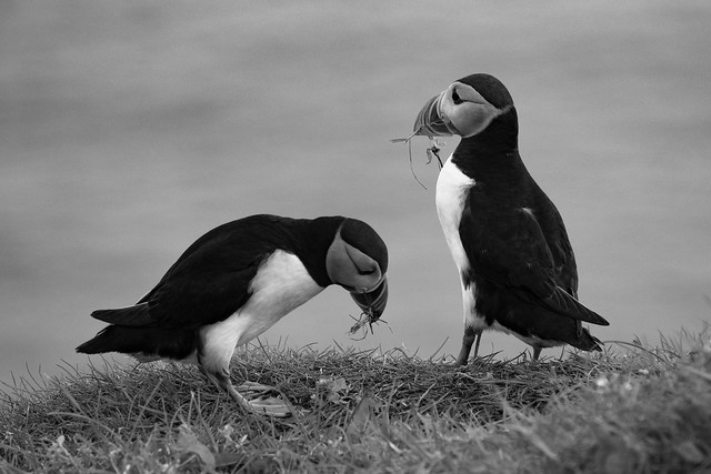The puffins of the Faroe Islands