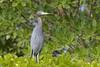 Little Blue Heron (Egretta caerulea), Everglades, Florida by Daniel J. Field
