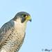 Perregrin Falcon