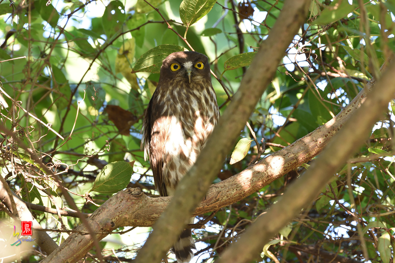 Brown_Hawk_Owl_1482