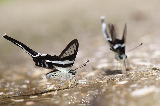 White Dragontail (Lamproptera curius curius) 燕鳳蝶