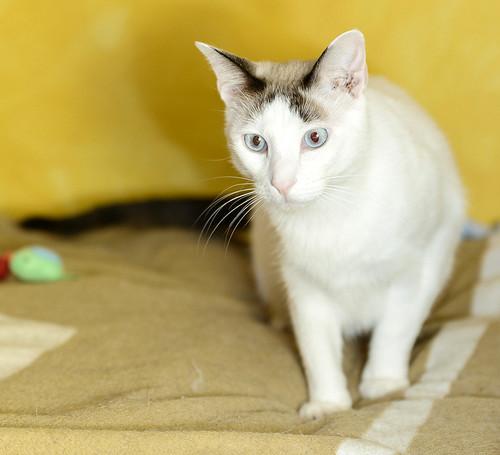 Blau, gato cruce Snowshoe nacido en enero´17 esterilizado, apto para gatos machos, en adopción. Valencia. 46157694082_dc51a1d678